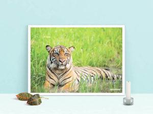 poster tigre